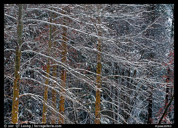 Snow-covered trees with diagonal branch pattern. Yosemite National Park (color)