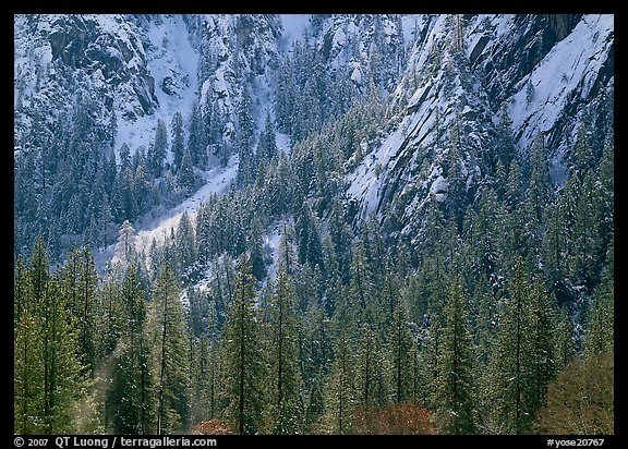 Dry Evergreens and snowy cliff. Yosemite National Park (color)