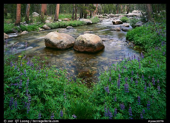 Lupine, boulders,  Tuolumne River in forest. Yosemite National Park (color)