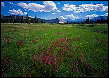 Summer wildflowers and Lembert Dome, Tuolumne Meadows. Yosemite National Park, California, USA. (color)