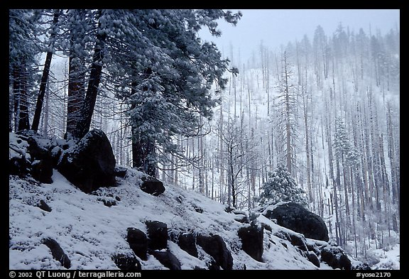 Forest with snow and fog, Wawona road. Yosemite National Park, California, USA.