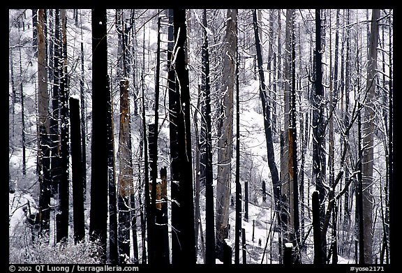 Burned forest in winter, Wawona road. Yosemite National Park (color)