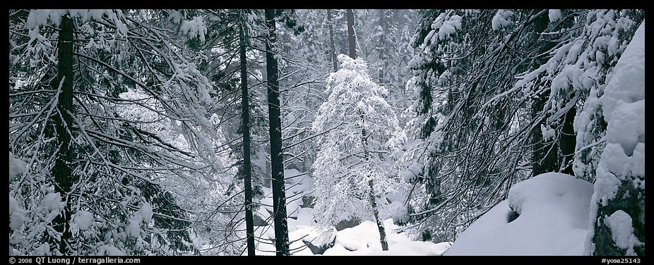 Forest with fresh snow. Yosemite National Park (color)