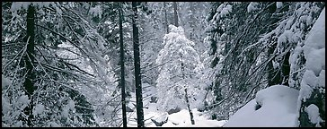 Forest with fresh snow. Yosemite National Park (Panoramic color)