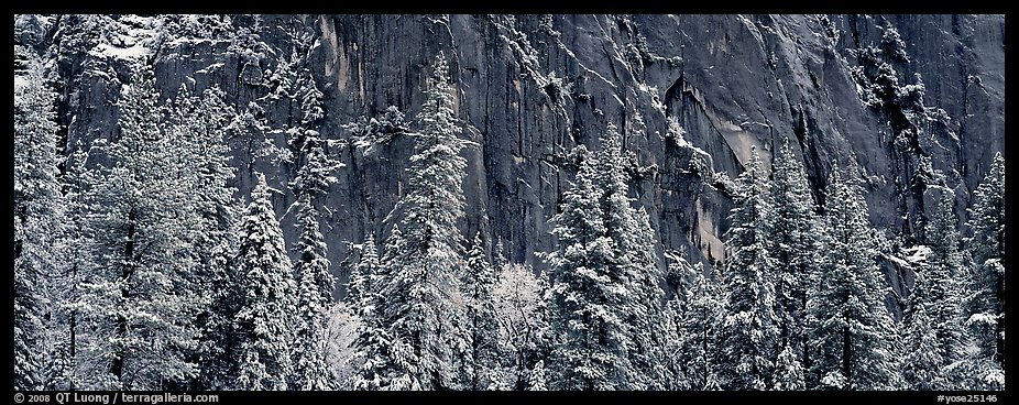 Snow-covered trees and dark cliff. Yosemite National Park (color)