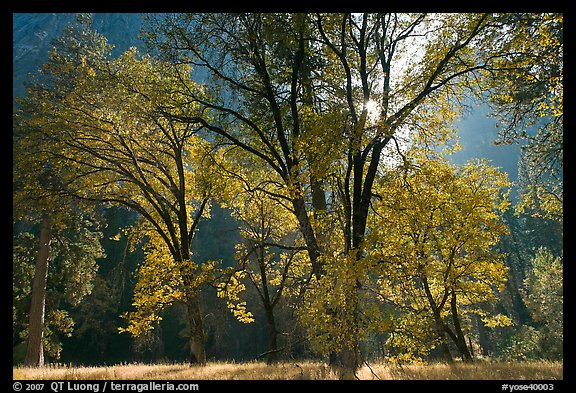 Oaks in fall foliage and Cathedral Rocks. Yosemite National Park (color)