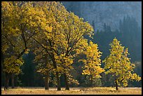 Oaks in autumn foliage, El Capitan meadow. Yosemite National Park, California, USA.