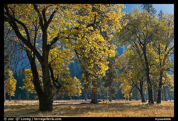 Black oaks with with autum leaves, El Capitan Meadow, afternoon. Yosemite National Park (color)