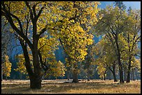 Black oaks with with autum leaves, El Capitan Meadow, afternoon. Yosemite National Park, California, USA.