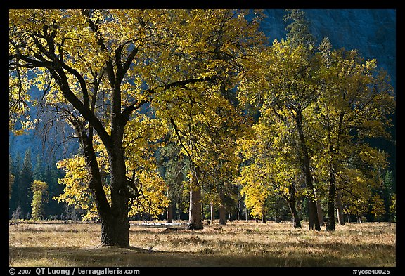 Black oaks with with autumn leaves, El Capitan Meadow, morning. Yosemite National Park (color)