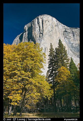 Trees in fall color and El Capitan. Yosemite National Park, California, USA.