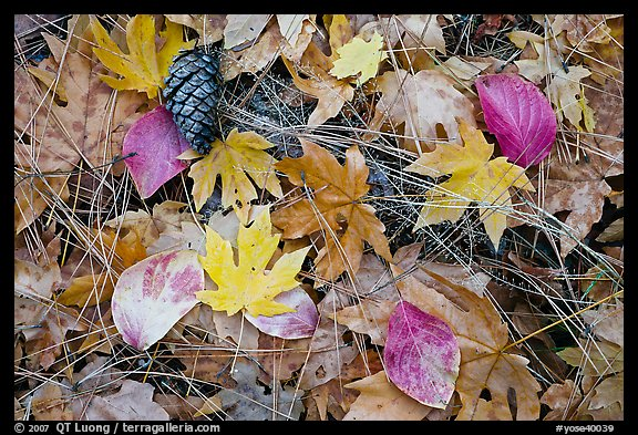 Fallen maple and dogwood leaves, pine needles and cone. Yosemite National Park (color)