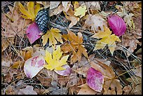 Fallen maple and dogwood leaves, pine needles and cone. Yosemite National Park, California, USA.