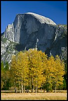 Aspens and Half Dome in autumn. Yosemite National Park, California, USA. (color)