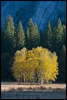 Aspens, Pine trees, and cliffs, late afternoon. Yosemite National Park, California, USA.