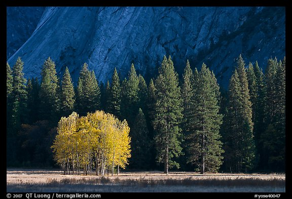 Aspens in fall foliage, evergreens, and cliffs. Yosemite National Park (color)