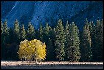 Aspens in fall foliage, evergreens, and cliffs. Yosemite National Park, California, USA. (color)