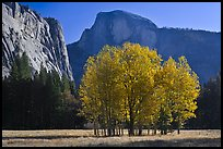 Aspen stand and Half-Dome, morning. Yosemite National Park, California, USA. (color)
