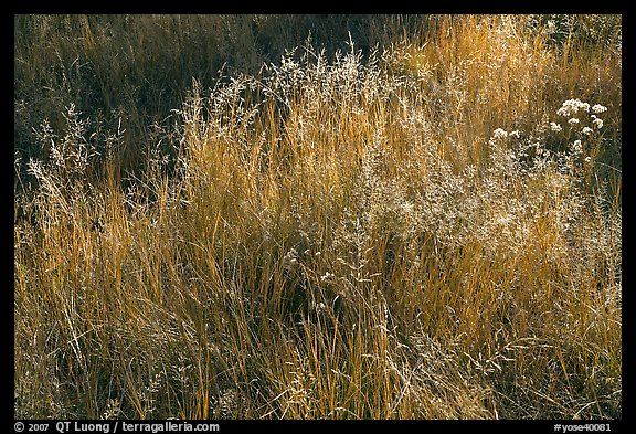 Close-up of grasses in autumn. Yosemite National Park (color)