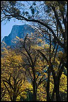 Oak trees and Half-Dome. Yosemite National Park, California, USA. (color)