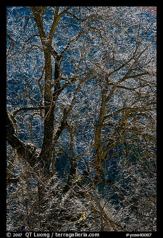 Branches of Elm tree and light. Yosemite National Park (color)