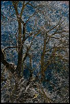 Branches of Elm tree and light. Yosemite National Park, California, USA. (color)