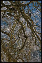 Dendritic branches pattern. Yosemite National Park, California, USA. (color)