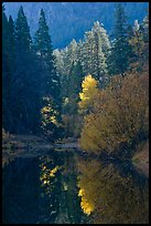 Sunlit autumn tree, Merced River. Yosemite National Park, California, USA.