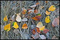Leaves and grass with frost. Yosemite National Park ( color)