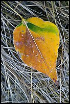 Close-up of Frosted aspen leaf. Yosemite National Park ( color)