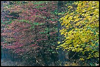 Dogwood and bigleaf Maple in autumn foliage. Yosemite National Park, California, USA.