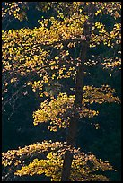 Backlit tree with autum leaves. Yosemite National Park ( color)