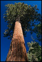 Towering sequoia tree, Mariposa Grove. Yosemite National Park, California, USA. (color)
