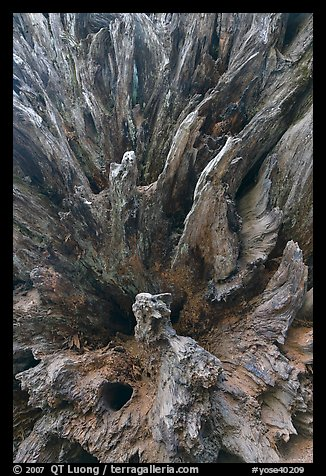 Roots of fallen sequoia tree, Mariposa Grove. Yosemite National Park (color)
