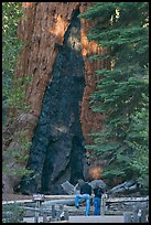 Couple at  base of  Grizzly Giant sequoia. Yosemite National Park, California, USA. (color)