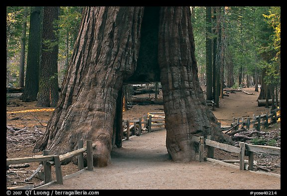 California tunnel tree, Mariposa Grove. Yosemite National Park (color)