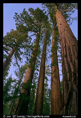 Sequoia trees at dusk, Mariposa Grove. Yosemite National Park (color)