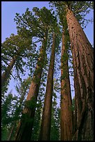 Sequoia trees at dusk, Mariposa Grove. Yosemite National Park ( color)