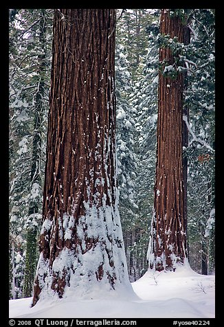 Sequoias and snowy trees, Tuolumne Grove. Yosemite National Park (color)