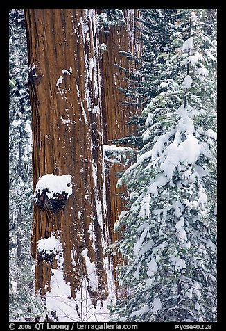 Giant Sequoias trees in winter, Tuolumne Grove. Yosemite National Park (color)