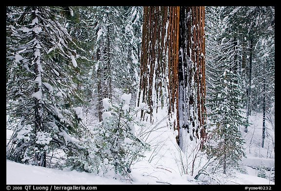 Sequoia forest in winter, Tuolumne Grove. Yosemite National Park (color)