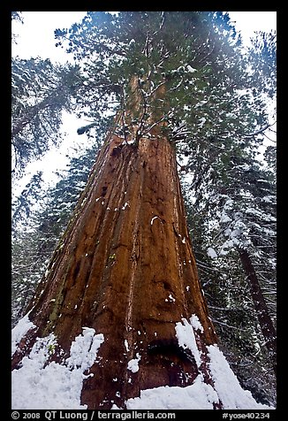 Giant sequoia seen from the base with fresh snow, Tuolumne Grove. Yosemite National Park (color)