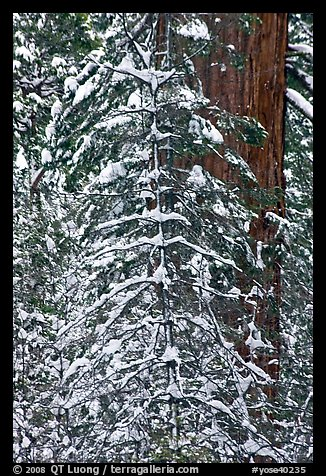Tree branches and tree trunks with fresh snow, Tuolumne Grove. Yosemite National Park (color)