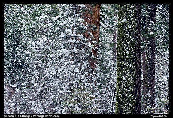 Snowy forest  and tree trunks, Tuolumne Grove. Yosemite National Park (color)