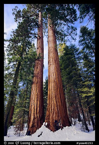 Giant sequoia trees in winter, Mariposa Grove. Yosemite National Park (color)