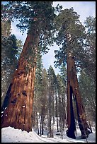 Two giant sequoia trees, one with a large opening in trunk, Mariposa Grove. Yosemite National Park, California, USA. (color)