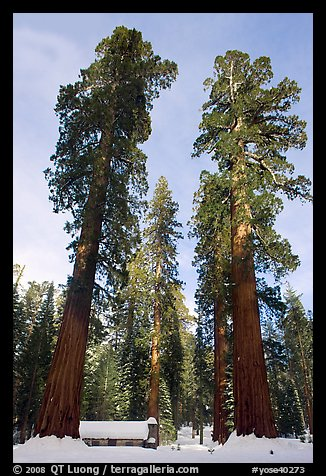Big trees, and Mariposa Grove Museum in winter. Yosemite National Park (color)