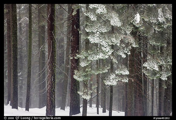 Snowy forest in fog, Chinquapin. Yosemite National Park (color)