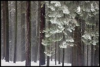 Snowy forest in fog, Chinquapin. Yosemite National Park, California, USA.