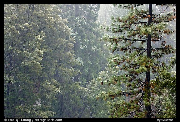 Forest during snowstorm, Wawona. Yosemite National Park (color)